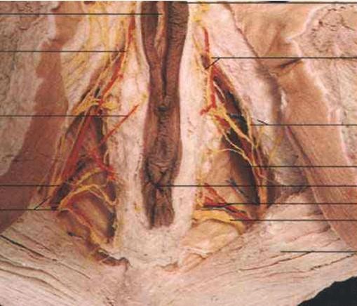 女性会阴的限度解剖图
